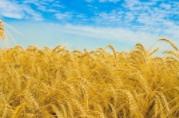 Как увеличить урожайность пшеницы