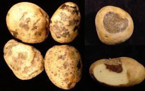 Болезни картофеля. Знаете ли вы врага в лицо?