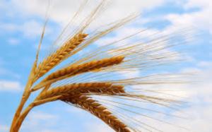 Чем болеет пшеница