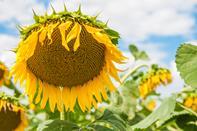 Что такое семена подсолнечника «под Гранстар»?