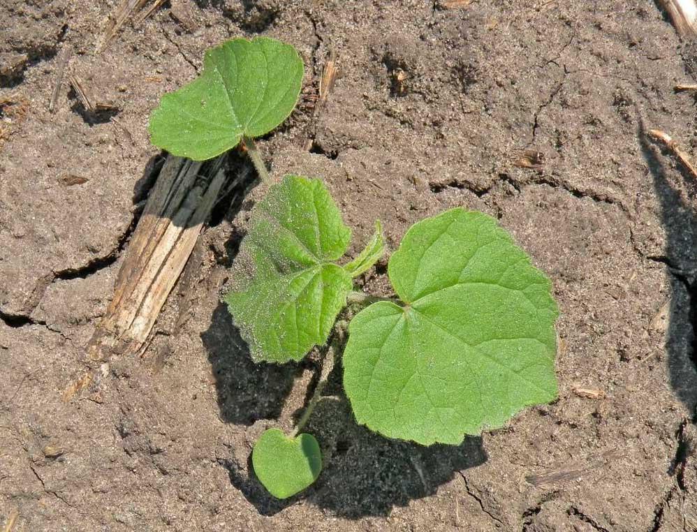 Болезни кукурузы – как с ними бороться?