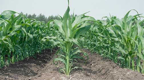 Самые распространенные сорняки на кукурузе и методы борьбы с ними.