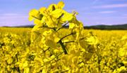Технология выращивания рапса
