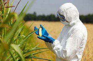 Пузырчатая, летучая головня и фузариоз кукурузы – описание болезней кукурузы