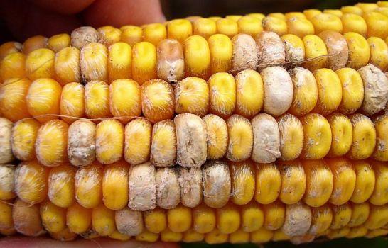 Болезни кукурузы и их признаки