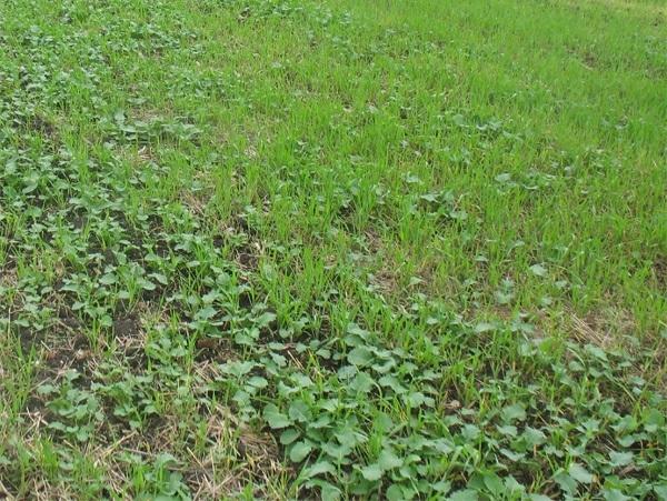 Борьба с падалицей подсолнечника и рапса в посевах озимой пшеницы