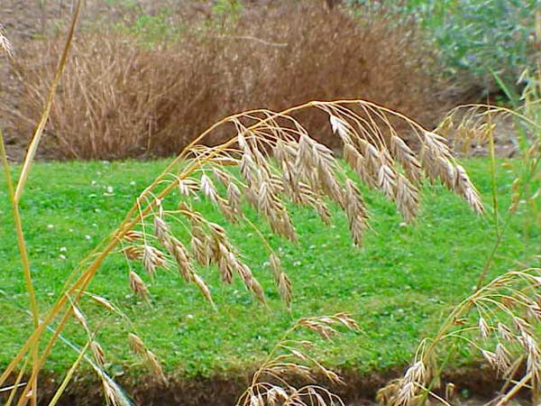 Защита пшеницы от головни