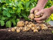Применение гербицидов на картофель