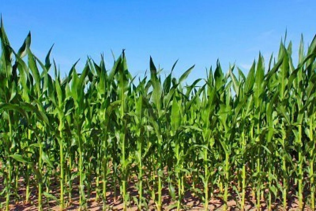Органогенез кукурузы. Когда формируется ваш урожай?