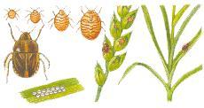 Вредители зерновых культур