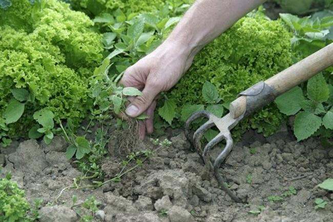 Как уничтожить корнеотпрысковые сорняки
