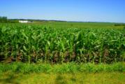 Чем подкармливать кукурузу