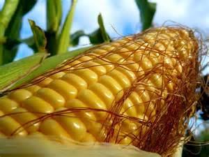 Семена кукурузы со времен Христофора Колумба