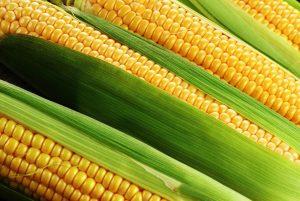 Как правильно выбрать гибрид кукурузы