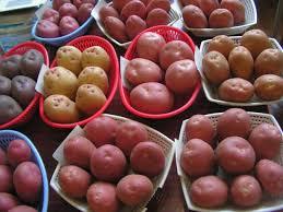 Выбор посадочного материала картофеля