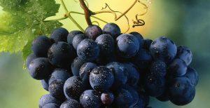 Органическая защита винограда