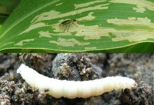 Основные вредители кукурузы
