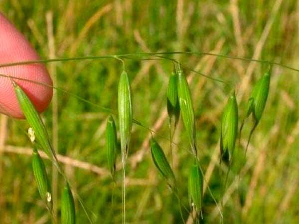 Агрохимия на озимую пшеницу и ячмень