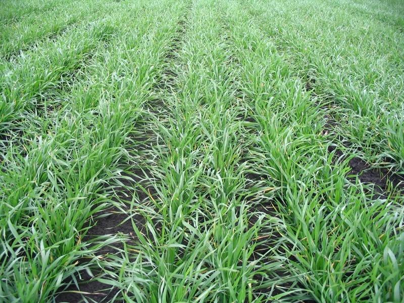 Особенности защиты озимой пшеницы