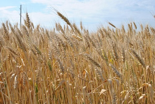 Весенний уход за озимой пшеницей