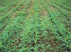 Почвенные гербициды для кукурузы