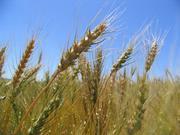Как бороться с сорняками после посева пшеницы