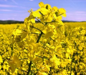 Почвенный гербицид для озимого рапса