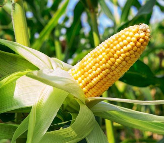 Выращивание кукурузы из семян