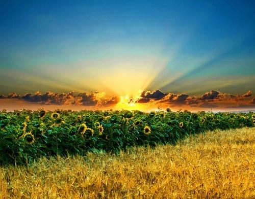 Высокоолеиновые семена подсолнечника. Обзор рынка.