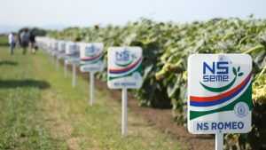 Гибриды сербской селекции: что выбрать
