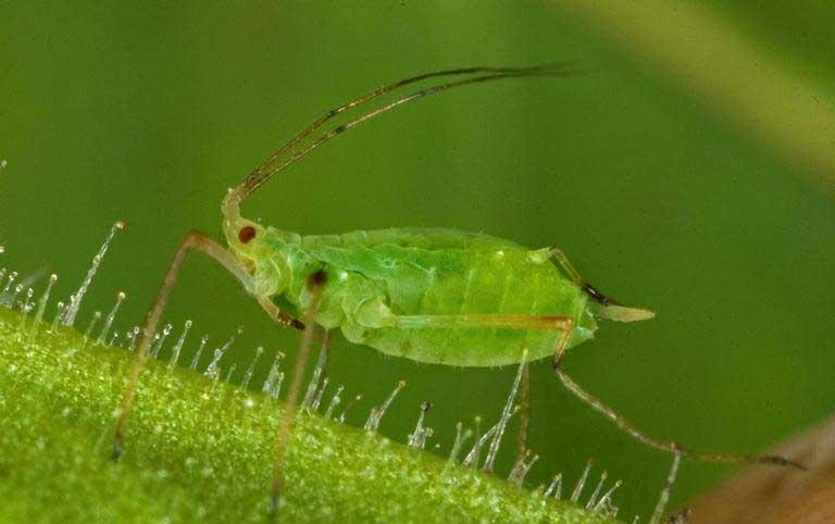 Защита посевов подсолнечника от тли