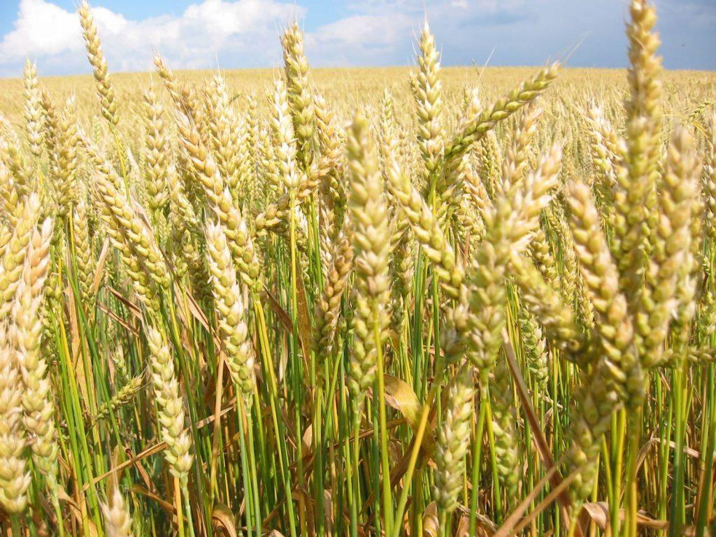 Урожай зерновых в Украине