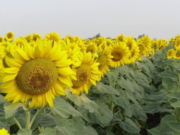 Какой подсолнечник украинской селекции самый урожайный?
