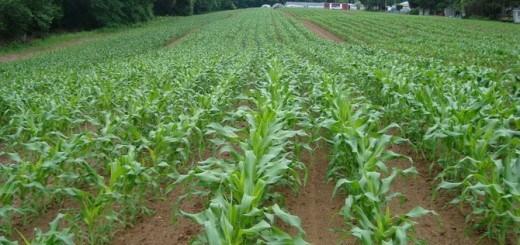 Выращивание кукурузы на силос