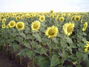 Выращивание подсолнечника в степной зоне