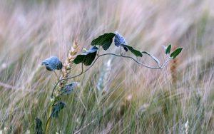 Как избавиться от вьюнка в поле
