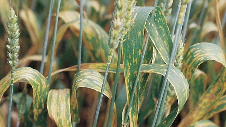 Болезни озимой пшеницы – профилактика и лечение