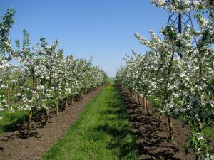 Защита яблони от клещей