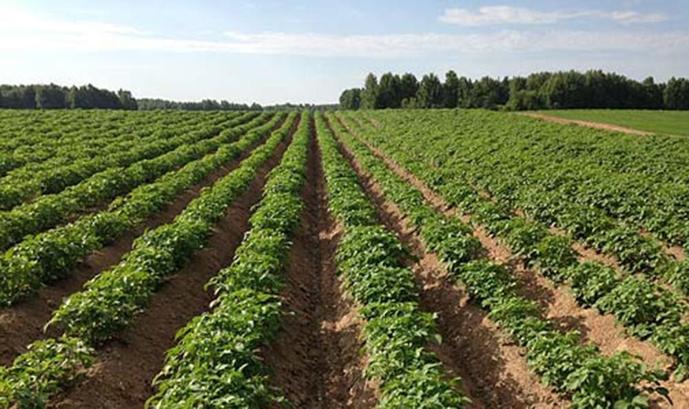 Защита картофеля от сорняков