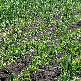 Защита кукурузы от двудольных сорняков