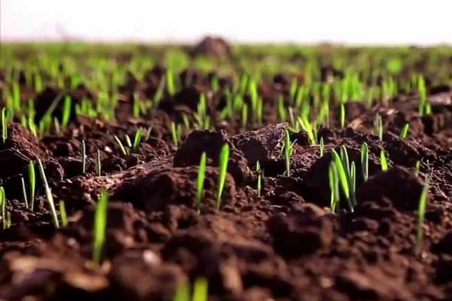 Система защиты озимых зерновых