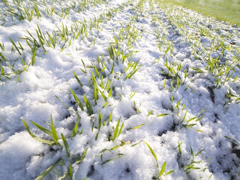 Как оценить перезимовала ли пшеница
