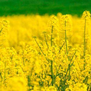 [:ru]Семена рапса 44W22 (Пионер)[:ua]Насіння ріпаку 44W22 (Піонер)[:]