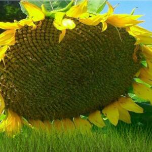 Семена подсолнечника НС Сумо 556