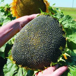 Семена подсолнечника 8Х570КЛ