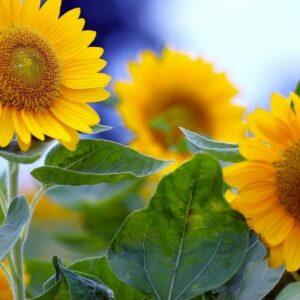 [:ru]Семена подсолнечника 8Х421КЛДМ[:ua]Насіння соняшника 8Х421КЛДМ[:]