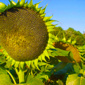 [:ru]Семена подсолнечника Пионер P63LE113 (П63ЛЕ113)[:ua]Насіння соняшника Піонер P63LE113 (П63ЛЕ113)[:]