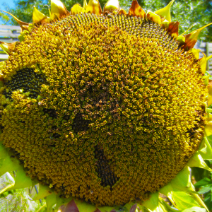 Семена подсолнечника Антей PRO