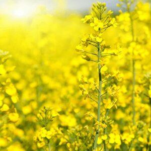 [:ru]Семена озимого рапса Альберта[:ua]Насіння озимого ріпаку Альберта[:]