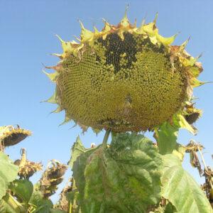 Семена подсолнечника НК Алего